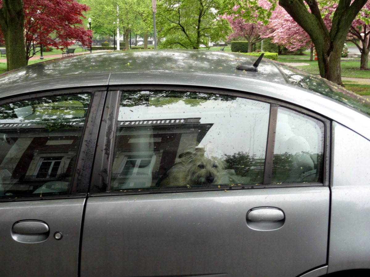 My dog Nina waiting patiently in the car for me. The Beverly Public Library is reflected in the window, and the Beverly Common looks beautiful in the rain on the...